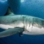 le traitement du cancer dans l'ADN du requin blanc?