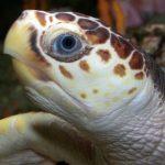 Tortue marine nidifiant à Mon Repos en Australie